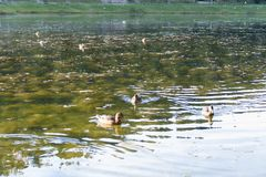 Ente auf einem See in der Natur Stockbilder