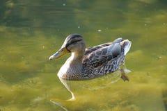 Ente auf einem See in der Natur Stockfoto