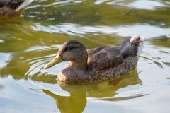 Ente auf einem See in der Natur Lizenzfreies Stockbild