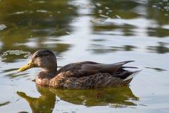 Ente auf einem See in der Natur Lizenzfreie Stockfotos