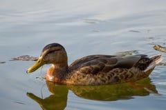 Ente auf einem See in der Natur Stockfotos