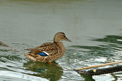 Ente auf einem Seil Stockbild