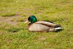Ente auf einer grünen Wiese Stockbild