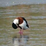 Ente auf Eis lizenzfreie stockfotos