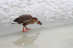 Ente auf Eis im Frühjahr Stockfotos