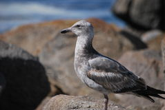 Ente auf Felsen Stockfotos