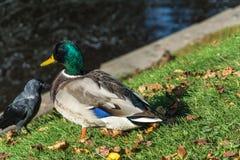 Ente auf grünem Gras mit gelben Blättern Lizenzfreie Stockfotografie