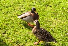 Ente auf Gras Stockbilder