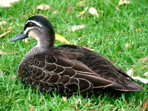 Ente auf Rasen Stockbilder