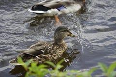 Ente auf See Lizenzfreies Stockbild