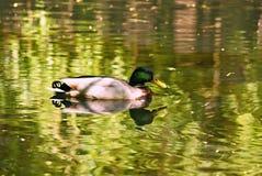 Ente auf See Lizenzfreies Stockfoto