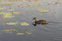 Ente auf See Stockbild