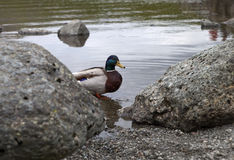 Ente auf Seeufer Lizenzfreies Stockbild