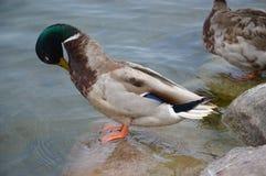 Ente auf Stein Stockfotografie