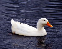 Ente auf Teich Lizenzfreies Stockbild