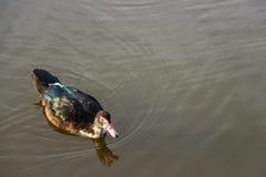 Ente auf Teich in der Natur bei Sonnenaufgang Lizenzfreie Stockfotos