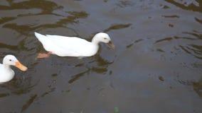 Ente auf Teichwasser stock video