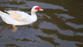 Ente auf Teichwasser stock footage