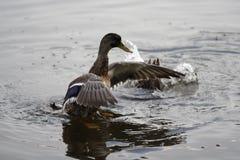 Ente auf Wasser Stockbilder