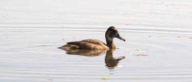 Ente auf Wasser Lizenzfreies Stockbild