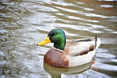 Ente auf Wasser stockfoto