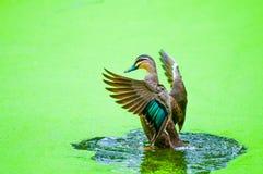 Ente auf Wasser Stockfotos