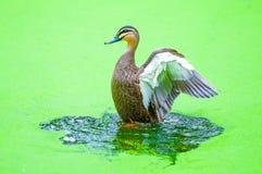 Ente auf Wasser Lizenzfreies Stockfoto