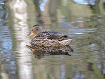 Ente auf Wasser mit Kräuselung und Reflexion Stockfoto