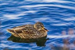 Ente auf Wasser, mit Reflexion Lizenzfreies Stockfoto