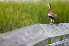 Ente auf Zaun Stockfotografie