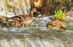 Ente badet in einem Teich Lizenzfreie Stockfotografie