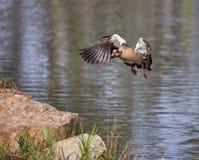 Ente badet in einem Teich Stockfotografie