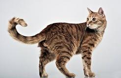 Ente completo del gatto piacevole in studio grigio fotografia stock