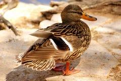 Ente in dem Teich stockfoto