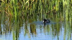 Ente des amerikanischen Blässhuhns taucht für pflanzliches Lebensmittel, 4K stock footage