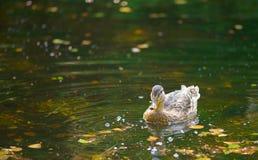 Ente, die auf dem See smimming ist Lizenzfreies Stockbild