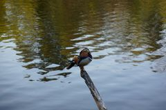 Ente, die auf der Stockspiegelung von Bäumen im See sitzt stockfotografie