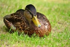 Ente, die auf Gras sitzt Stockfotografie