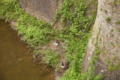 Ente, die auf ihrem Nest sitzt Stockfotos