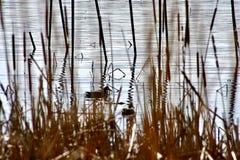 Ente, die auf Wasser im Marschland schwimmt lizenzfreies stockbild