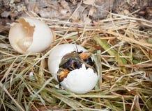 Ente, die aus Ei heraus lugt Lizenzfreie Stockbilder