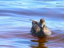 Ente, die in das Wasser schwimmt stockbilder