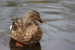 Ente, die heraus im Pool kühlt Lizenzfreies Stockfoto