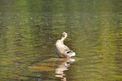 Ente, die ihn Selbst in der Sonne wäscht stockfotografie