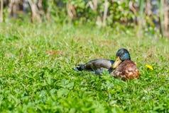 Ente, die im Gras liegt Lizenzfreies Stockbild