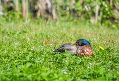 Ente, die im Gras schläft Lizenzfreie Stockbilder