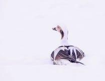 Ente, die im Schnee stillsteht Stockfoto