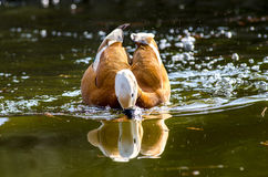 Ente, die nach Lebensmittel in den Teichen sucht Lizenzfreies Stockfoto