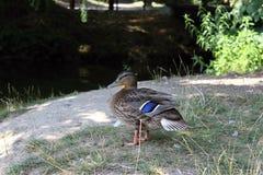 Ente, die am Rand des Sees sitzt Lizenzfreie Stockfotos