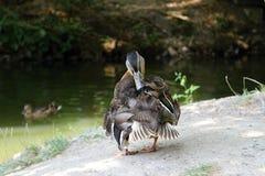 Ente, die am Rand des Sees sitzt Lizenzfreie Stockbilder